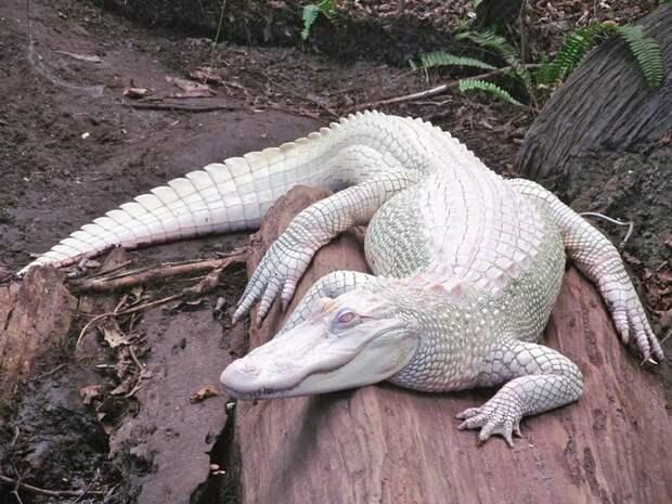 1. Аллигатор альбиносы, животные, красота, окрас, цвет