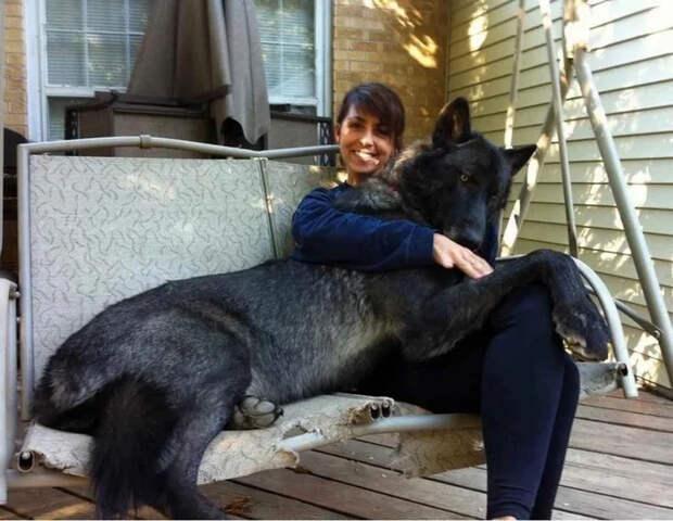 Волкособ: Нестабильная психика. Почему жизнь с полукровкой опасная затея? Собака, Волк, Питомец, Книга животных, Яндекс Дзен, Длиннопост, Волкособ