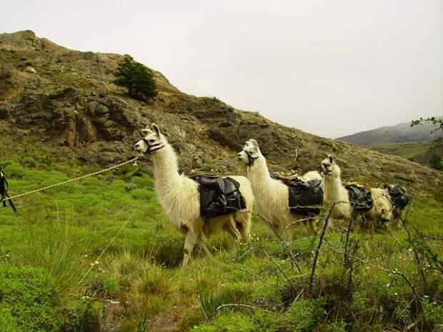 Ламы в Аргентинской Патагонии