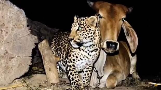Леопард по ночам посещал одну и ту же корову, непонятно почему