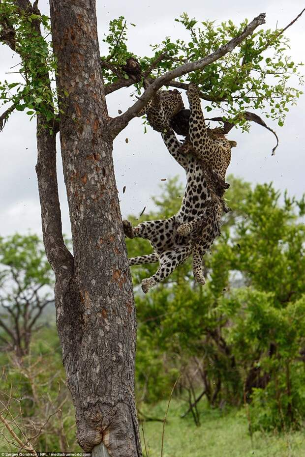 Леопард стаскивает с дерева легкую добычу животные, каннибал, леопард