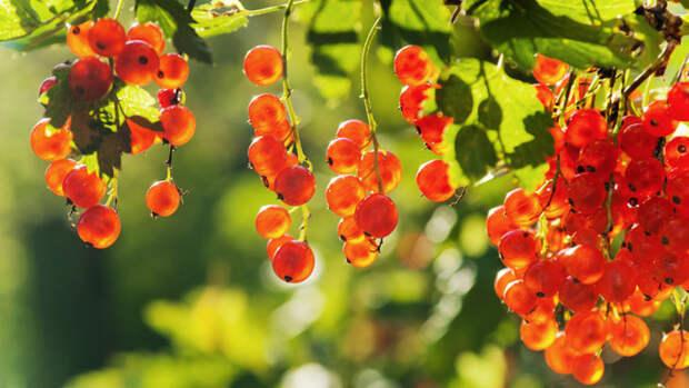 Уделите внимание ягодникам