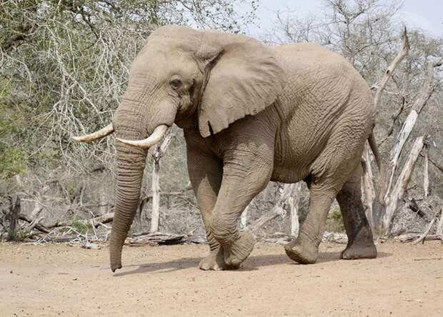 МСОП признал африканских слонов двумя разными видами