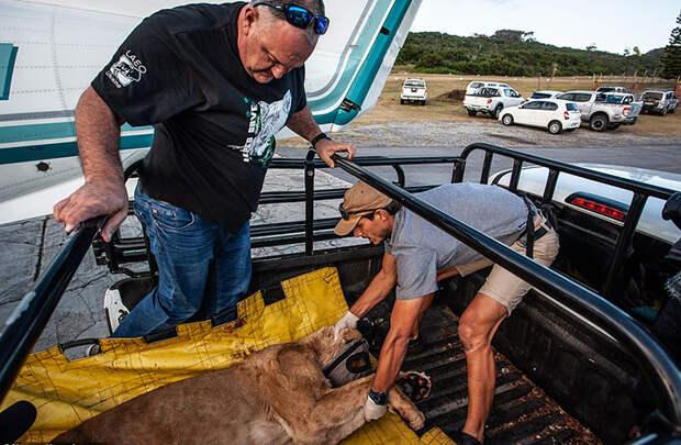 Дейн Рикер из британской транспортой компании помогает Лионелю отвезти львиц в заказник.