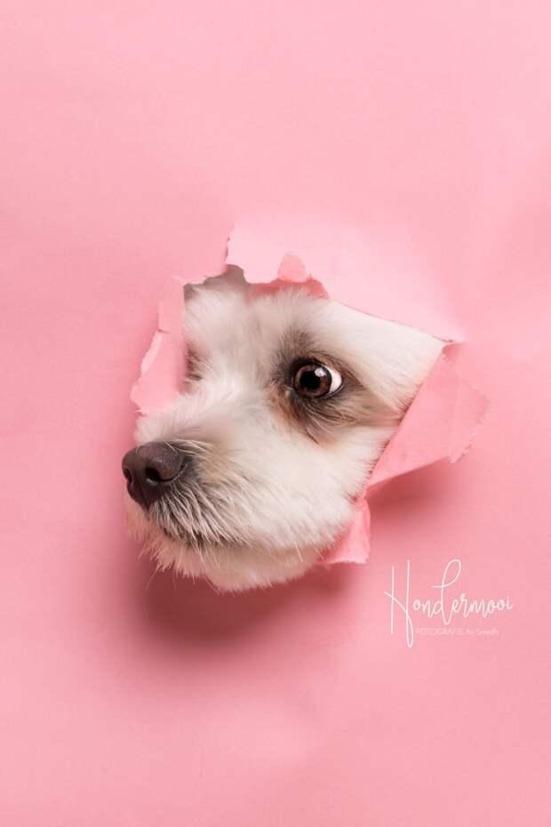 6 милых фото пёселей, которые пытаются пролезть в дырку в бумажном фоне фотостудии