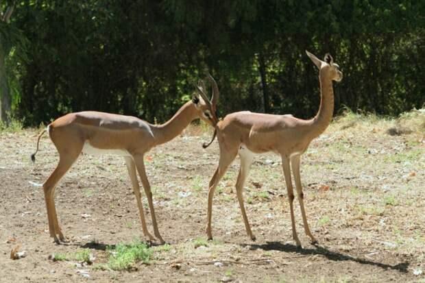 Самец и самка геренука: основные отличия