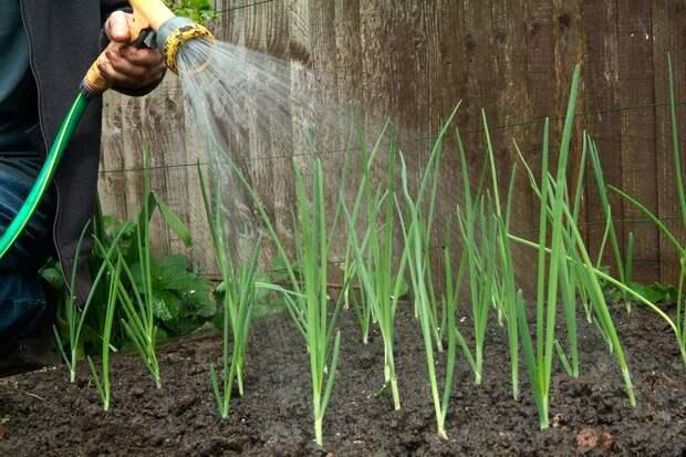 Как вырастить чеснок,правильная посадка