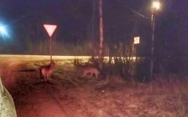 Они настоящие: волки преградили дорогу автомобилю