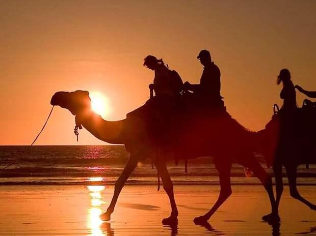 Любопытные факты о верблюдах