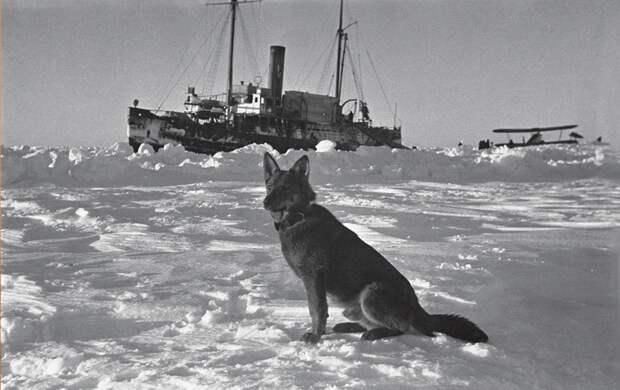 Пес Веселый Папанин, арктика, северный полюс, экспедиция