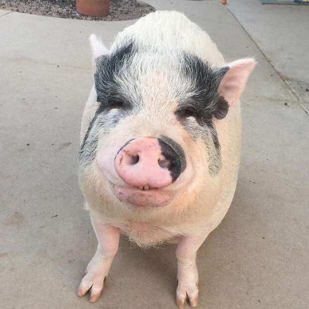 Домашние свиньи известны своим умом и общительностью. И особенно вьетнамские вислобрюхие Похлебка, домашний питомец, животные, милота, свинья, собаки