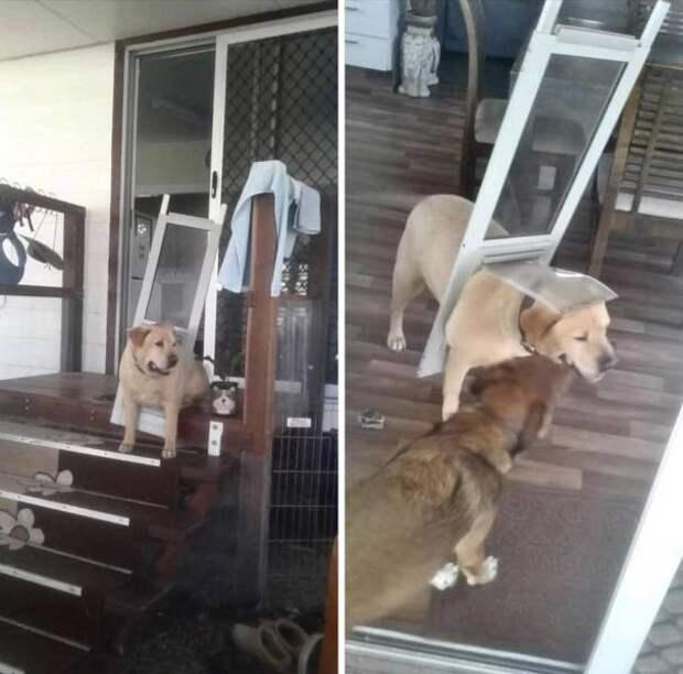 Собака застряла в двери