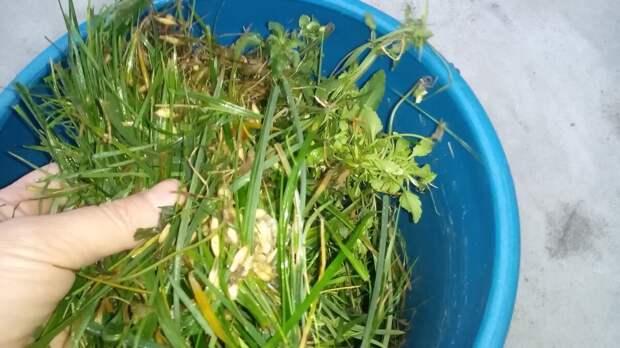 Трава послужит ценным удобрением. Фото автора