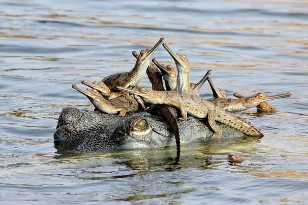 родители животные с их детенышами  крокодил