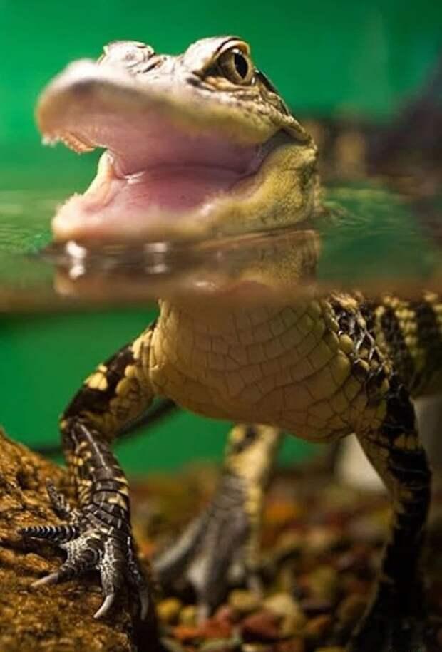 Самый маленький крокодил — это карликовый (Osteolaemus tetraspis), самые крупные взрослые особи не более 190 см в длину. аллигатор, интересное, крокодил, природа, факты, фауна