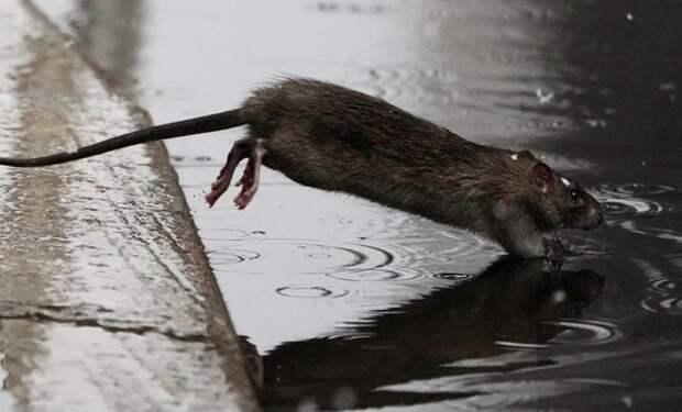 Специалисты предупредили о необычном поведении крыс во время пандемии в США