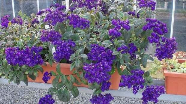 Гелиотроп можно сохранить до весны в доме. Фото с сайта dumazahrada.cz