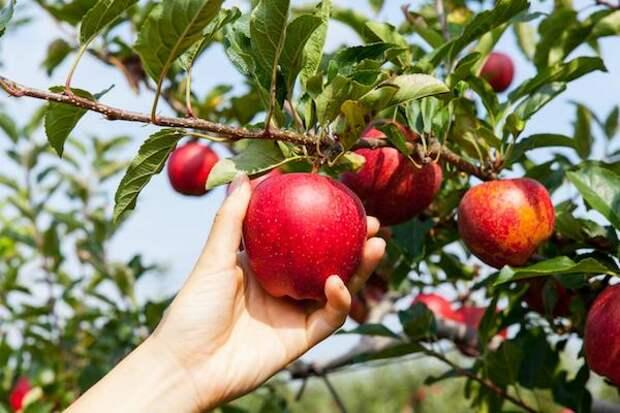 Вот как в два раза повысить урожай яблок