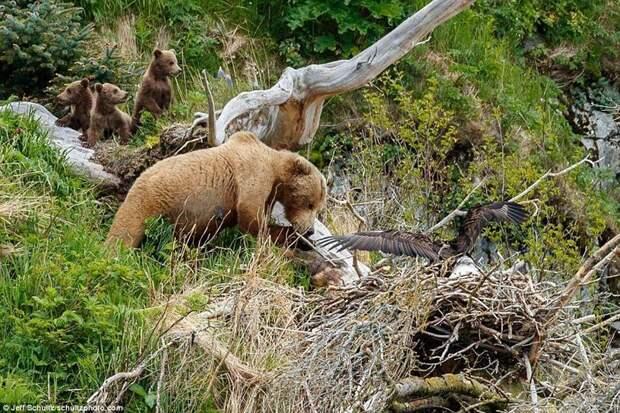 Медведица приближается к орлиному гнезду, а медвежата стоят в отдалении аляска, заповедник, медведица атакует, медведица с медвежатами, орел, орлиное гнездо, орлы, природа