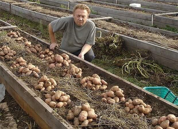 Отличный способ посадки картофеля в гряды-короба!