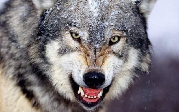 В ЕАО мужчина задушил напавшую на него волчицу