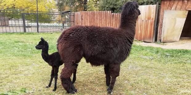 В Московском зоопарке родилась маленькая альпака альпака, зоопарк, фото