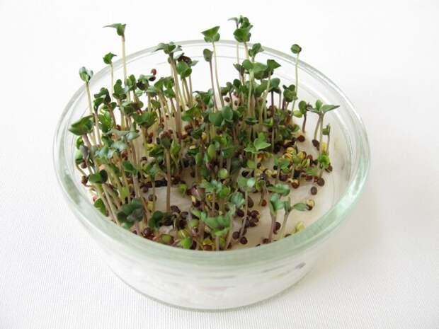 микрозелень вырастить в домашних условиях