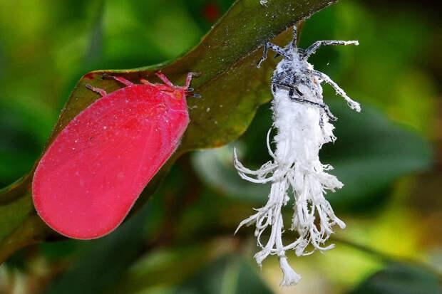 Розовая цикада: Зачем этим насекомым десятки восковых хвостиков?