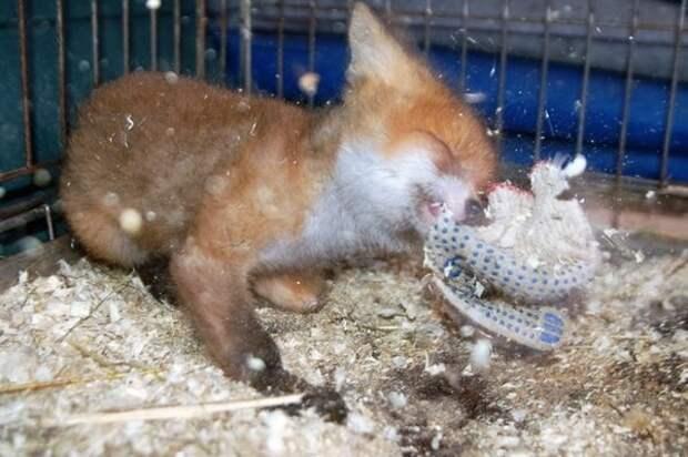 Трёхлапая лиса Алиса подрастает  Волоколамск, лиса, мини-зоопарк