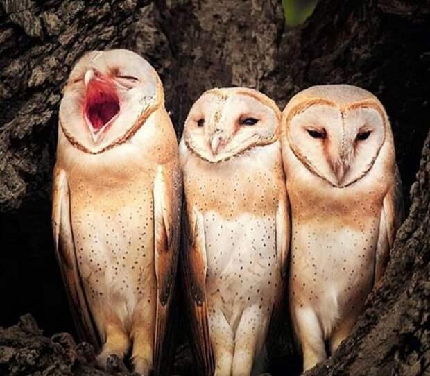 совы поют