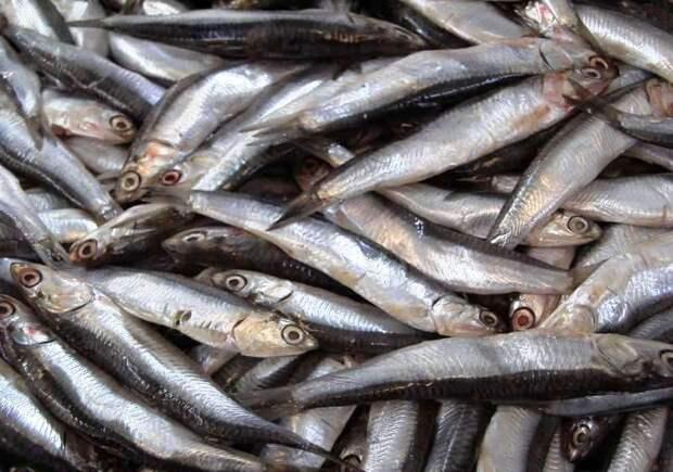 Крымчане могут остаться без любимой рыбы
