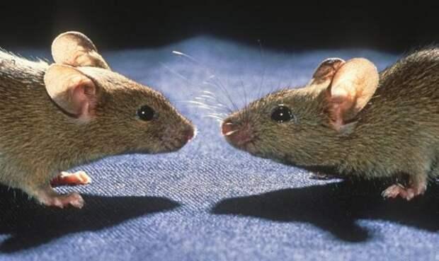 Алжирские мыши