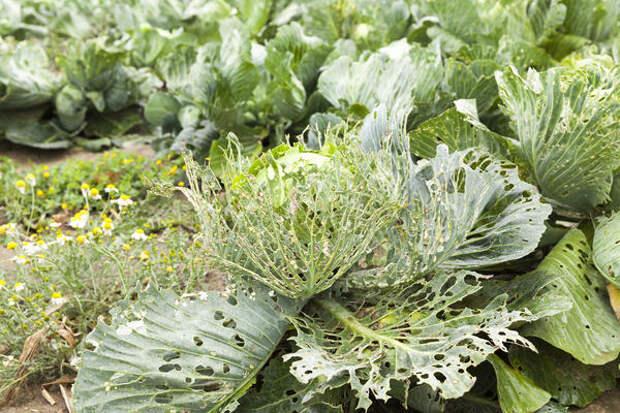 Гусеницы белянки могут погубить урожай