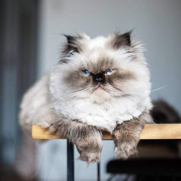 Всегда! животные, кот, милота, мимика, морда, ненависть