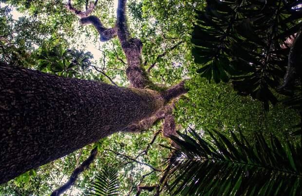 Бразильский орех, или бертолетия, – один из самых интересных представителей растительного мира Южной Америки. Фото: CIFOR/Flickr.com