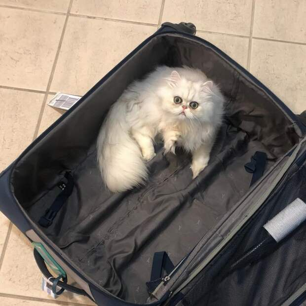20 невероятно смешных котов-экзотов, которые покорят ваше сердце кот, кошка, перс, персидская кошка, экзот