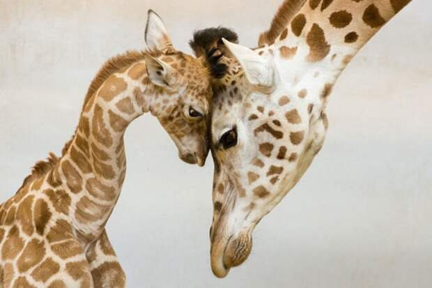 родители животные с их детенышами  жираф