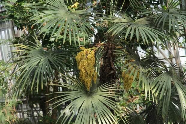 В Ботсаду ТГУ зацвела пальма, которая выдерживает холода до 15 градусов