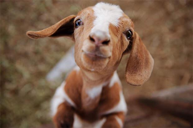 29 фотографий супер очаровательных и непоседливых козлят - 6