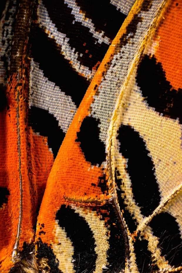 Великолепные макрофотографии крыльев бабочек, показывающие неуловимую красоту
