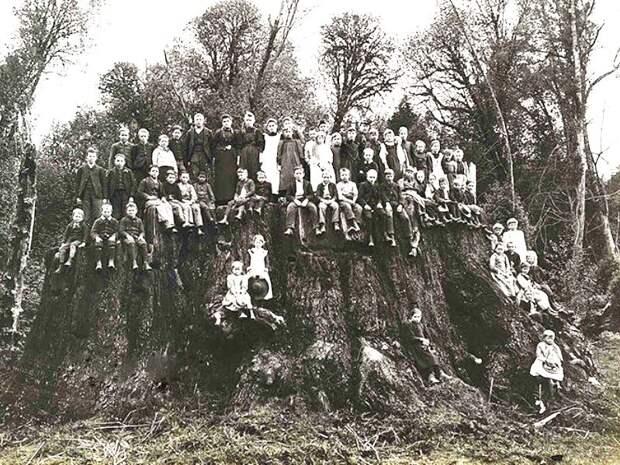Гиганты планеты: рекордсмена клонировали из пня