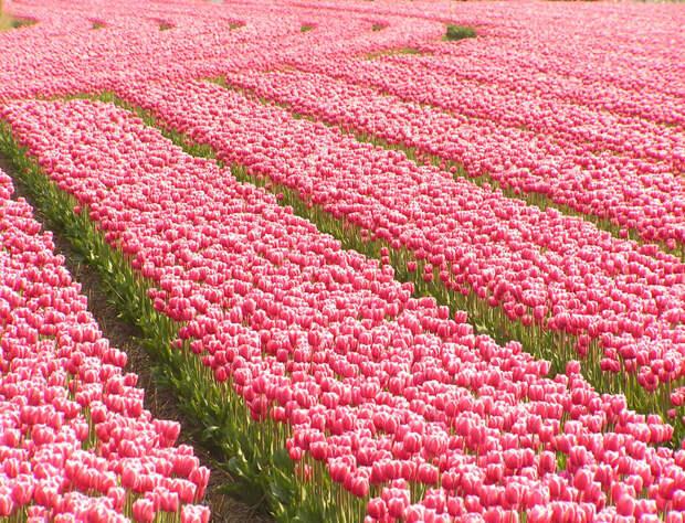 tulips17 Самые яркие тюльпаны со всего света