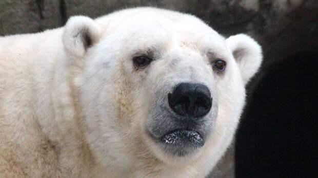 Белый медведь Умка умер в уральском зоопарке из-за брошенной игрушки