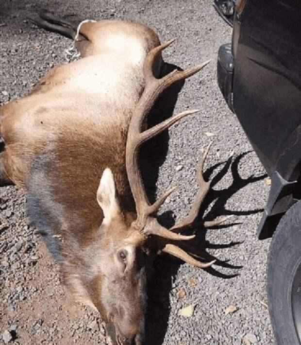 ВСША олень убил охотника, который подстрелил его излука накануне