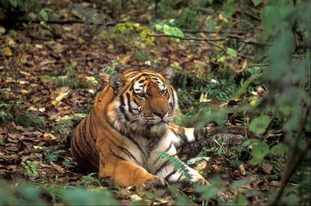 Амурский тигр © Леонид Дубейковский