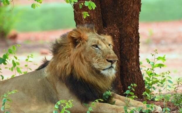 В индийском зоопарке зафиксирована вспышка коронавируса у хищников