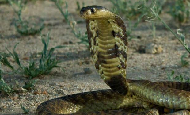 Королевская кобра