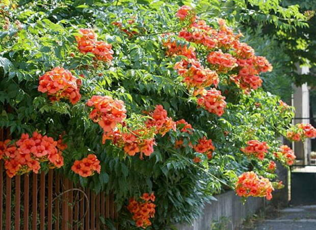 Девять лучших быстрорастущих вьющихся цветов для забора, арок и шпалер на даче