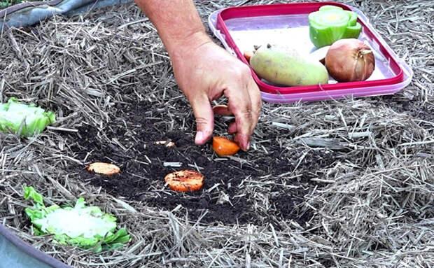 Сажаем в землю обрезки овощей со стола: вырастают за 5 недель
