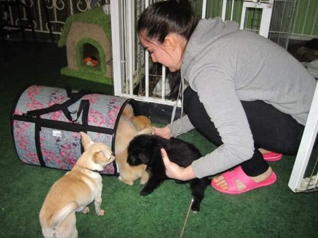 Люди купили собаку за 67 тысяч рублей, а затем сдали ее в приют порода, собака, чихуахуа